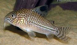 CORYDORAS JULII - LEOPARD CORY - Click for more info