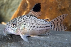 CORYDORAS JULII - LEOPARD CORY - Click for more info