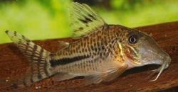 CORYDORAS LONGNOSE JULII - Click for more info