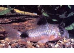 CORYDORAS PANDA - Click for more info