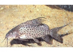 SYNODONTIS EUPTERUS - FEATHERFIN CAT - Click for more info