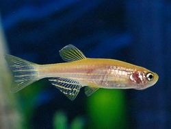 GOLD ZEBRA DANIO - Click for more info