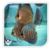 ASSORTED DISCUS - Click for more info