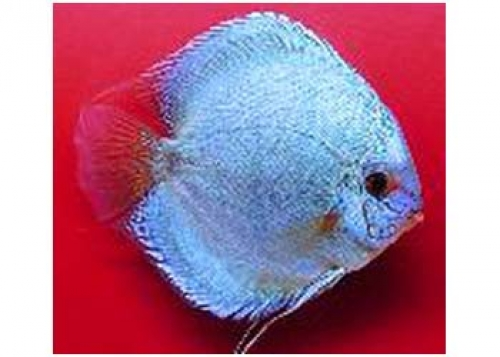 BLUE DIAMOND DISCUS - Click for more info