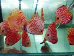 PIGEON BLOOD DISCUS - Click for more info