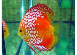PIGEON CHECKERBOARD DISCUS - Click for more info