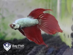 ASSORTED LONG FIN DRAGON FIGHTER - Click for more info
