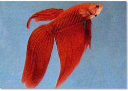 RED MALE FIGHTER - Click for more info