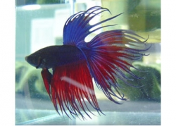 ASST SELECT CROWNTAIL MALE FIGHTER - Click for more info