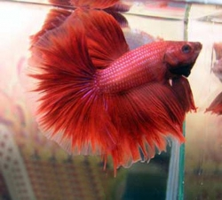 RED HALF MOON MALE FIGHTER - Click for more info