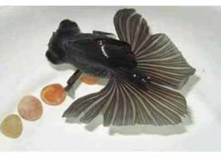 BLACK BUTTERFLY TAIL - Click for more info