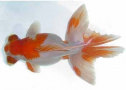 RED & WHITE BUTTERFLY TAIL - Click for more info