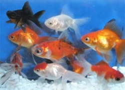ASSORTED FANTAIL - Click for more info