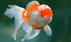 ASSORTED ORANDA - Click for more info