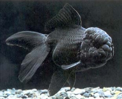 BLACK ORANDA - Click for more info