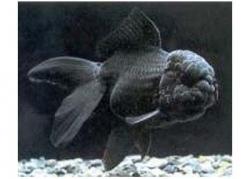 BLACK ORANDA - Click for more info