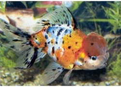 CALICO ORANDA - Click for more info
