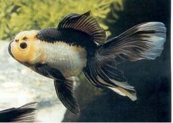 PANDA ORANDA - Click for more info
