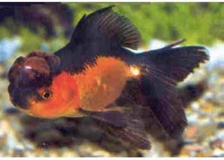 RED & BLACK ORANDA - Click for more info