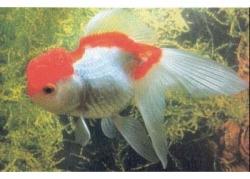 RED & WHITE ORANDA - Click for more info