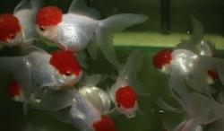 RED CAP ORANDA - Click for more info