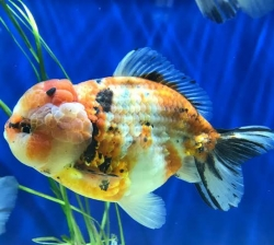 CALICO YUAN BAO ORANDA - Click for more info