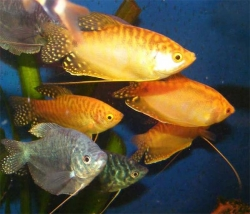ASSORTED GOURAMI - Click for more info