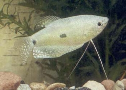 BLUE GOURAMI (THREE SPOT) - Click for more info