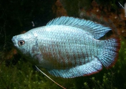 ASSORTED MALE DWARF GOURAMI - Click for more info