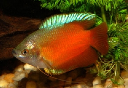 MALE FLAME DWARF GOURAMI - Click for more info