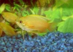 GOLD HONEY GOURAMI - Click for more info
