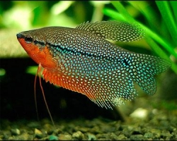 PEARL GOURAMI - Click for more info