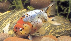 ASSORTED RANCHU - Click for more info