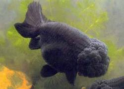 BLACK RANCHU - Click for more info