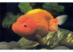 RED RANCHU - Click for more info