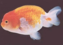 RED & WHITE RANCHU - Click for more info