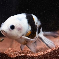 INK SPOT RANCHU - Click for more info