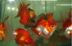 ASSORTED BROADTAIL RYUKIN - Click for more info
