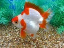 SHORT TAIL RED & WHITE RYUKIN - Click for more info