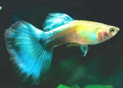MALE BLUE DIAMOND GUPPY - Click for more info