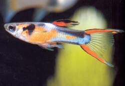 ASSORTED MALE ENDLERS GUPPY - Click for more info