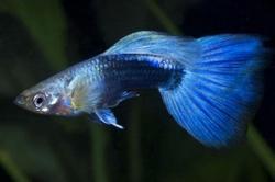 MALE BLUE NEON GUPPY - Click for more info