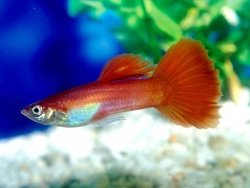 MALE RED GUPPY - Click for more info