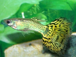 MALE GREEN SNAKESKIN GUPPY - Click for more info