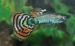 MALE LEOPARD SNAKESKIN GUPPY - Click for more info