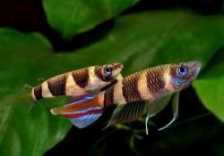 CLOWN PANCHAX (E.ANNULATUS) - Click for more info