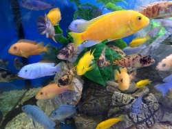 ASSORTED MALAWI CICHLID - Click for more info