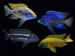 ASSORTED PEACOCK - Click for more info