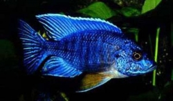 BLUE PEACOCK - Click for more info