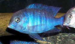 CYRTOCARA MOORII - BLUE DOLPHIN - Click for more info